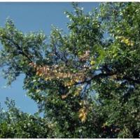 Dutch Elm Disease in Worcester